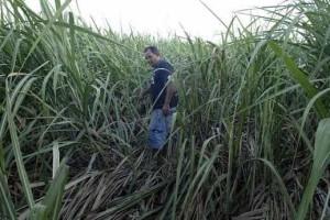 Moagem de cana-de-açúcar fecha ano com queda de 5%