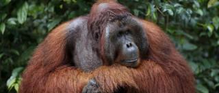 Jardim zoológico alemão mata orangotango ameaçado de extinção
