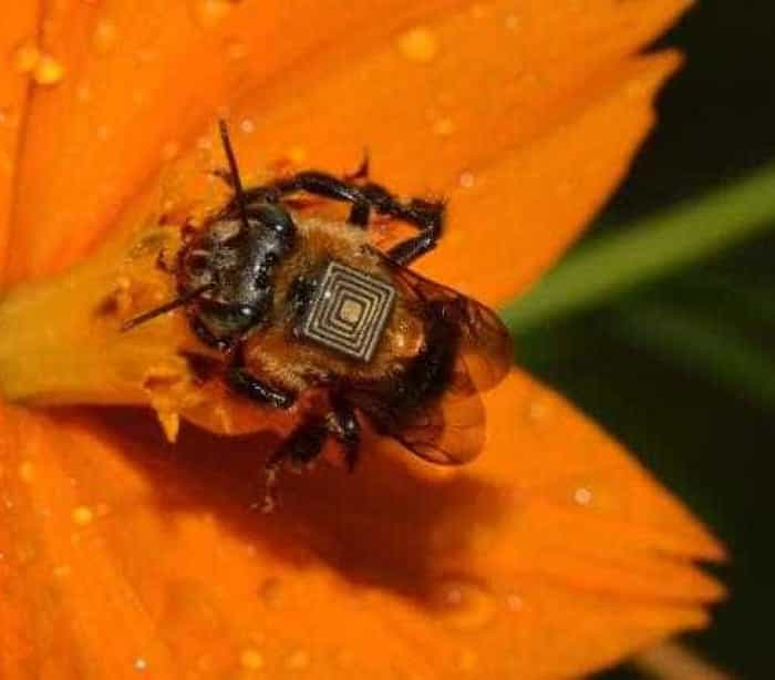Estudo sobre o clima monitora abelhas nativas por meio de microchips