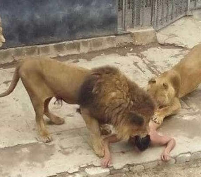 Zoológico no Chile sacrifica casal de leões após homem nu invadir jaula