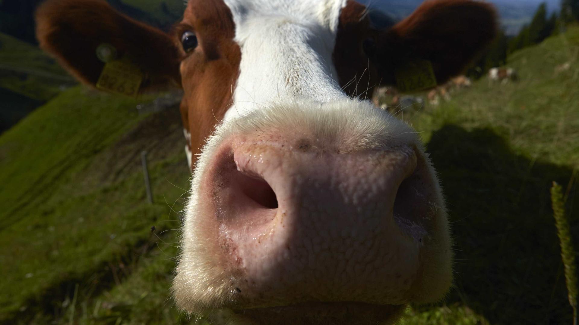 Vaca foge de caminhão que seguia para abatedouro e dá à luz