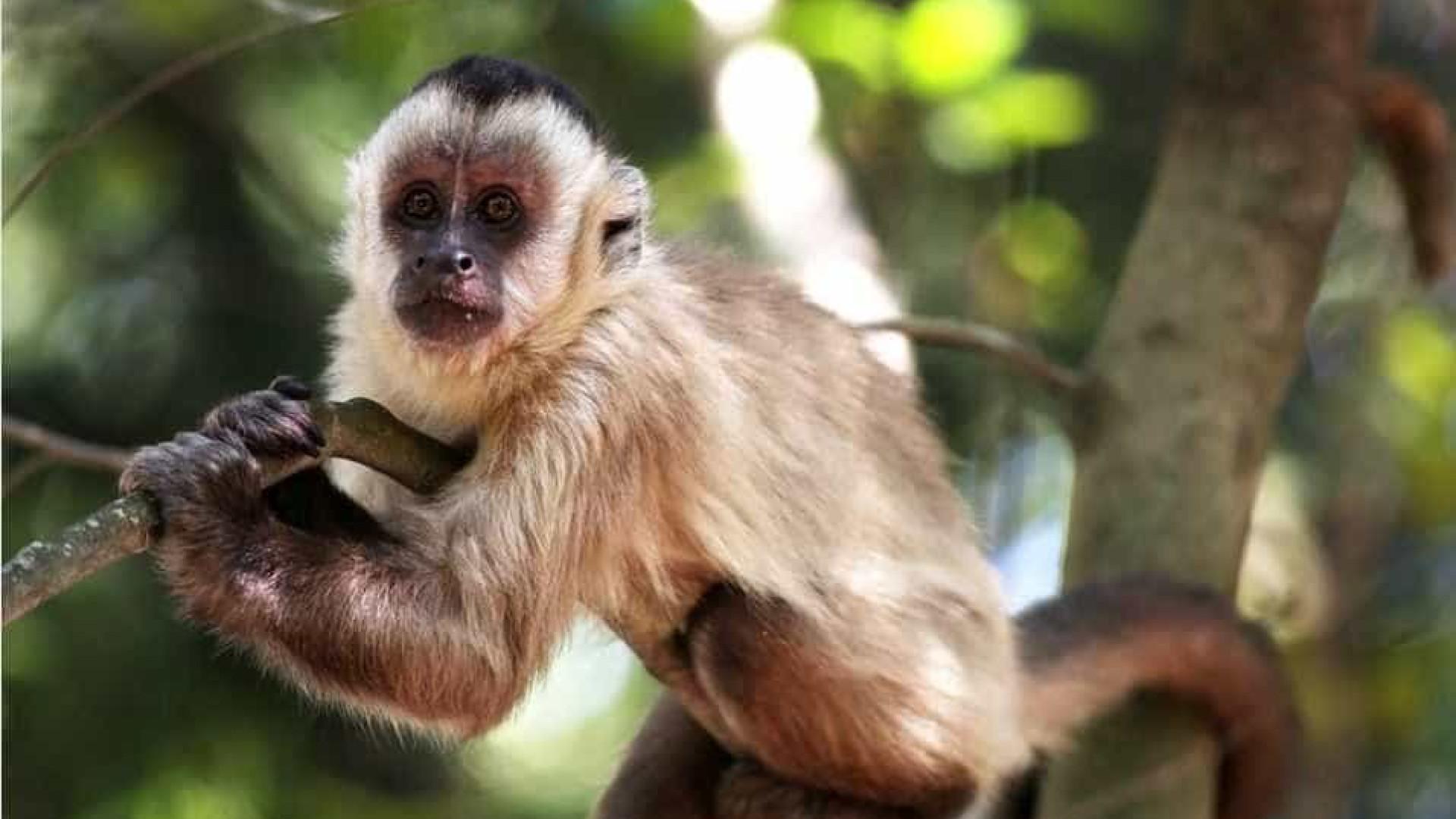 Macacos-pregos criam lascas de pedra como ancestrais humanos