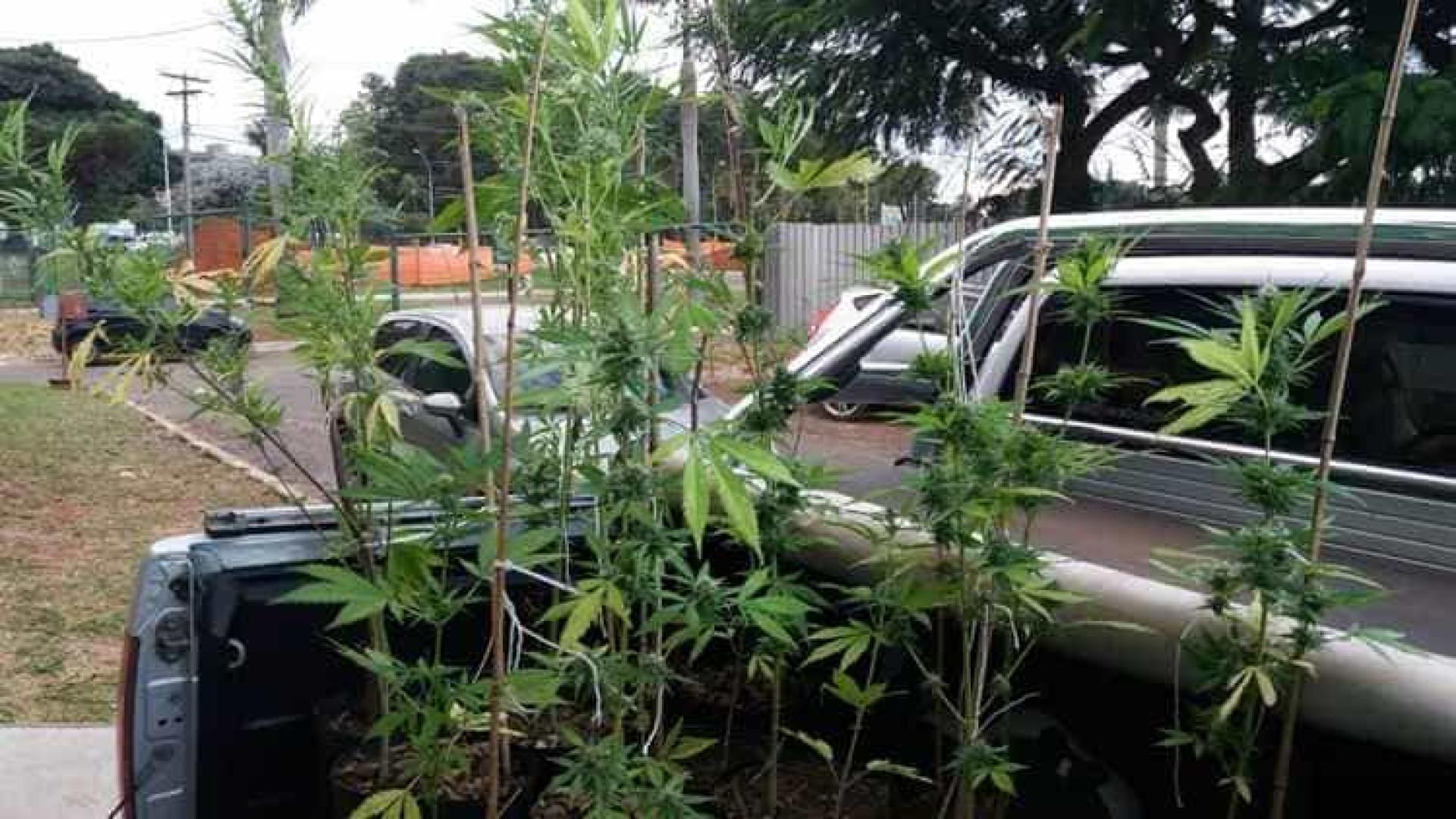 Polícia acha plantação de maconha da  UnB e prende três suspeitos