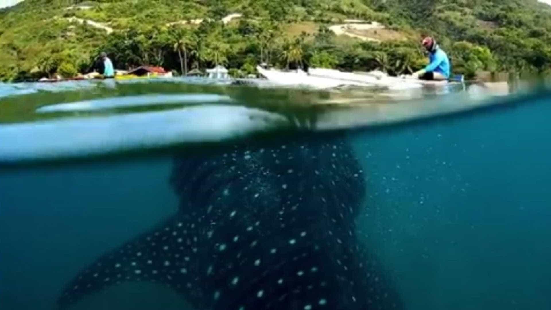Filmagem incrível mostra tubarão baleia muito perto de caiaques