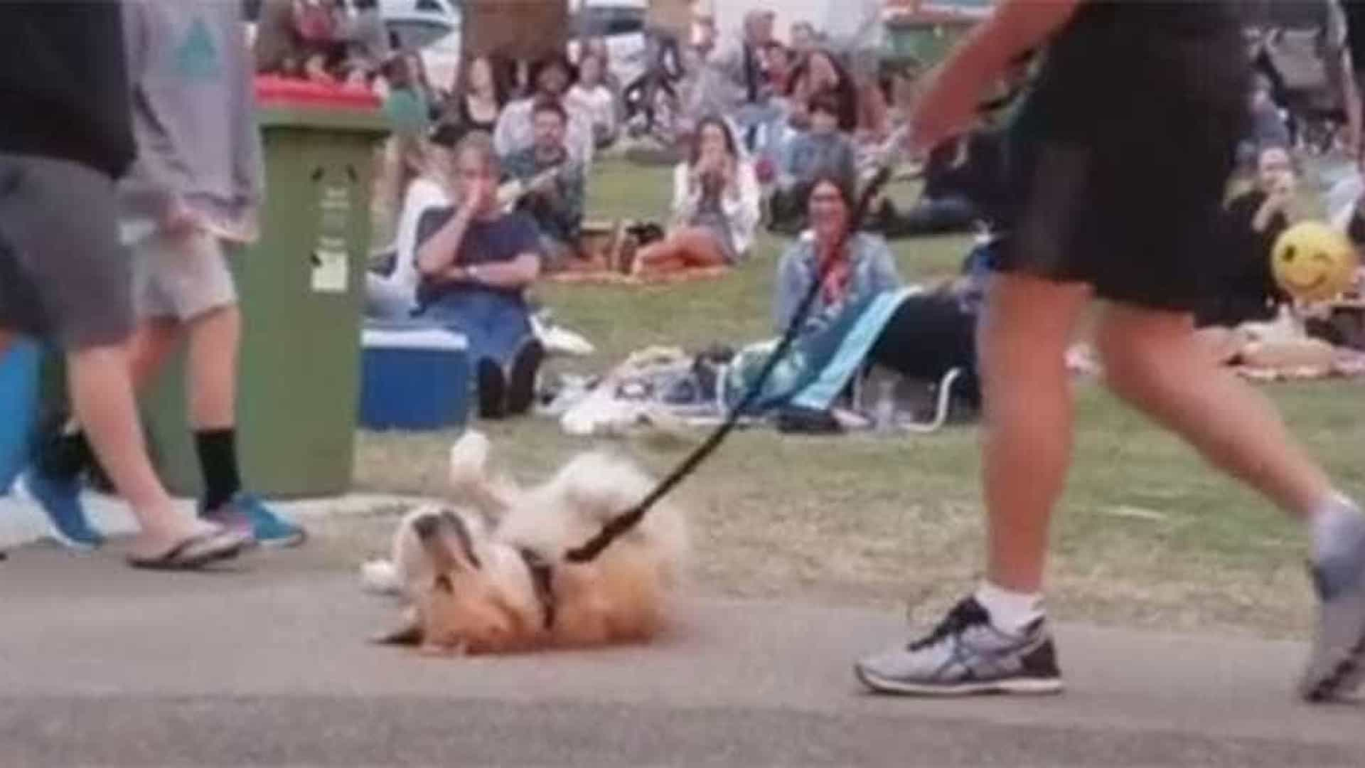 Cão empaca e se recusa a passear com seu dono; veja