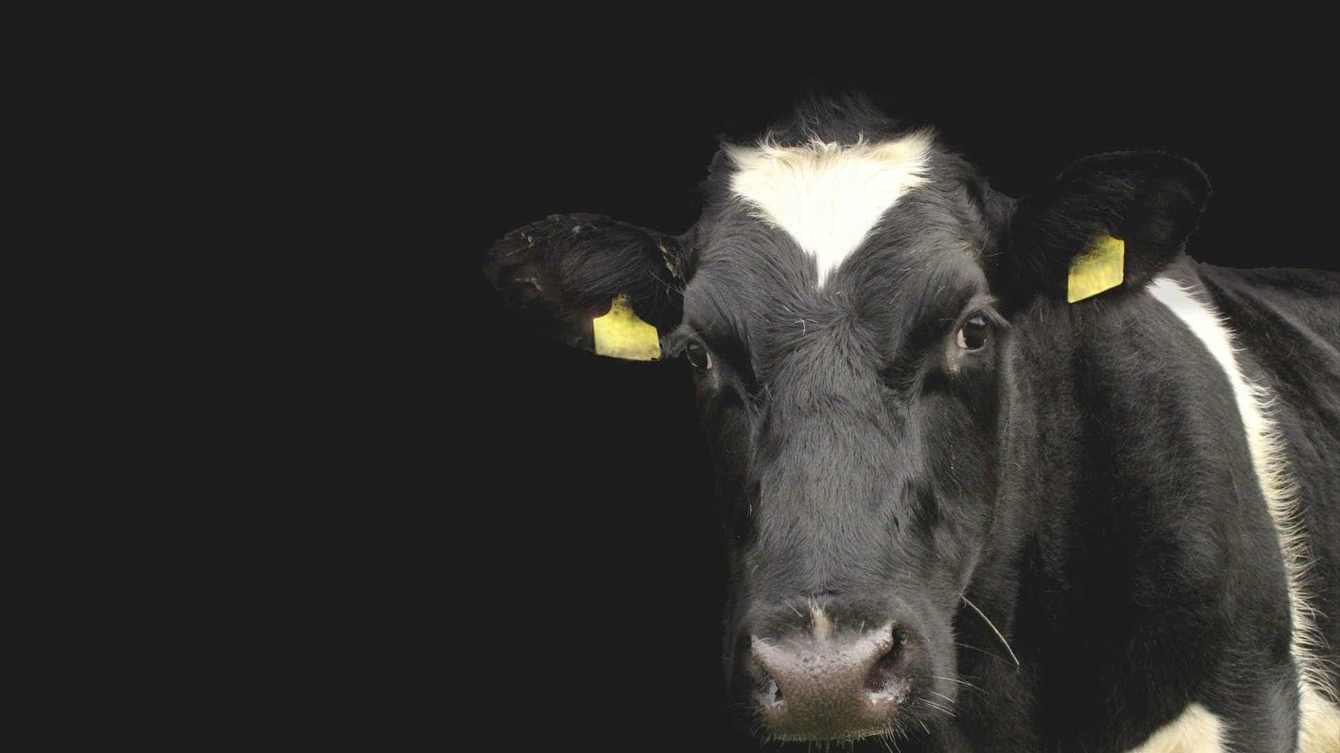 Duas vacas são flagradas passeando em shopping de MG