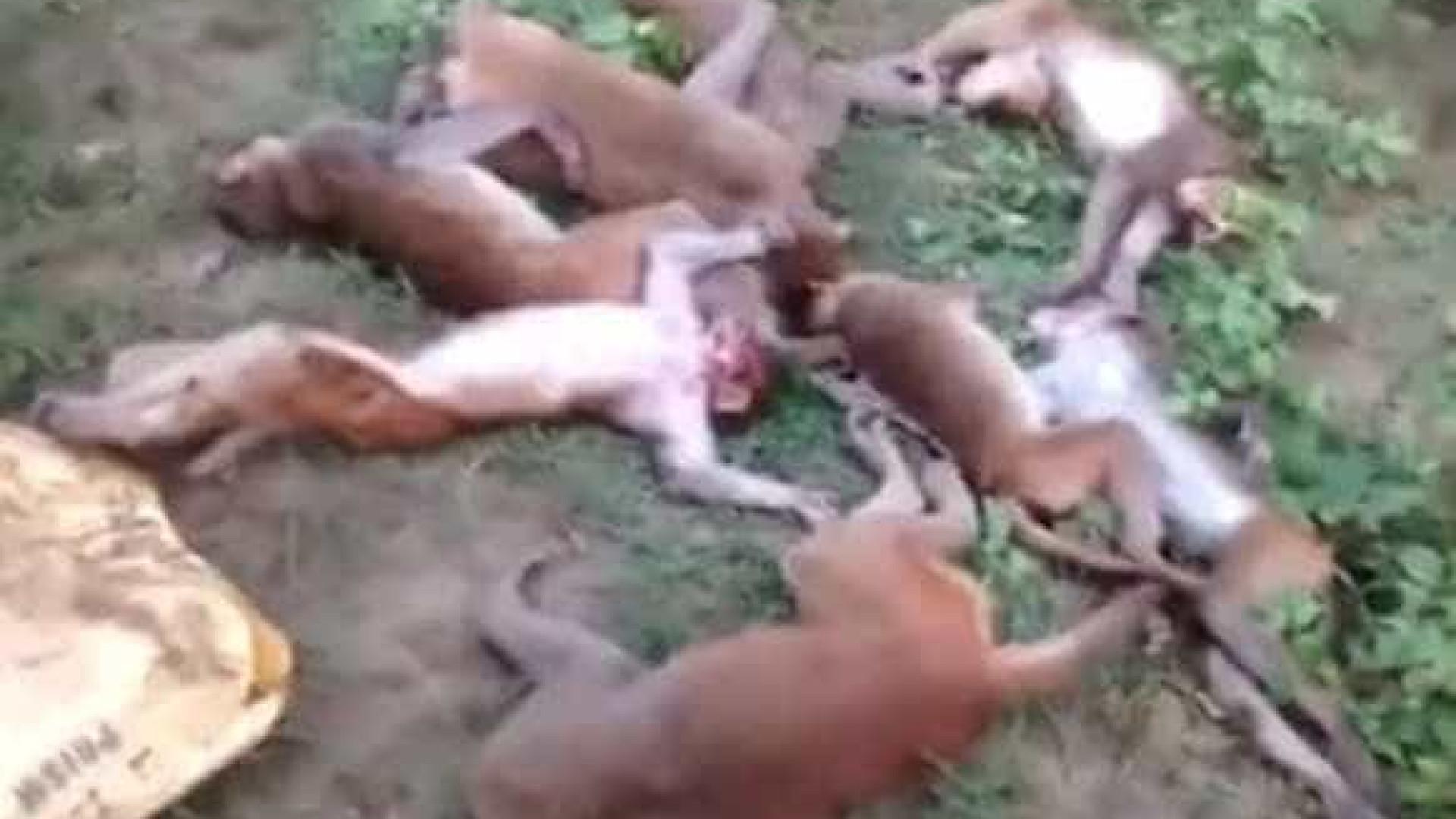 Ao avistarem tigre, 12 macacos morrem de ataque cardíaco ao mesmo tempo