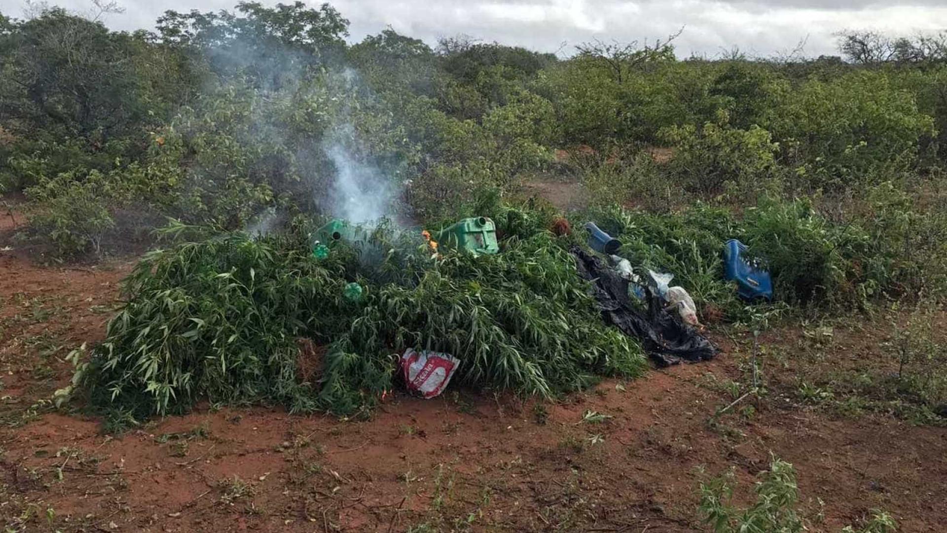 Mais de mil pés de maconha são encontrados em cidade da Bahia