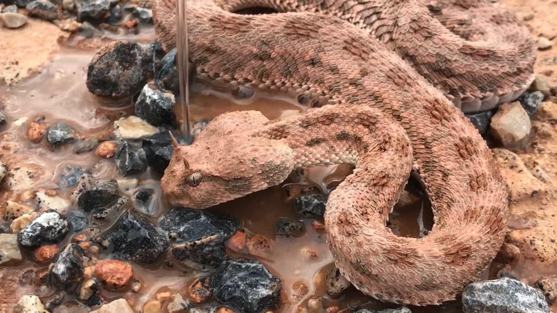 Homem resgata cobra à beira da morte