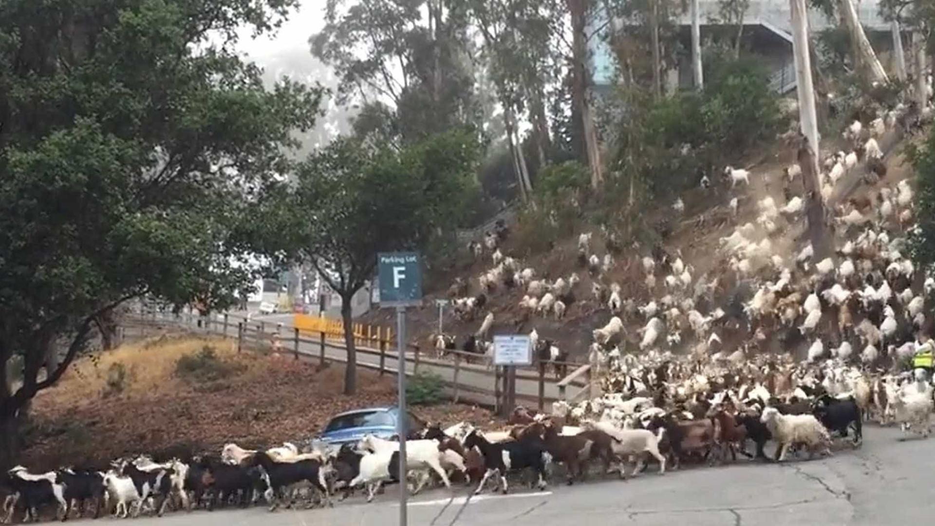'Avalanche' de cabras fecha estrada na Califórnia