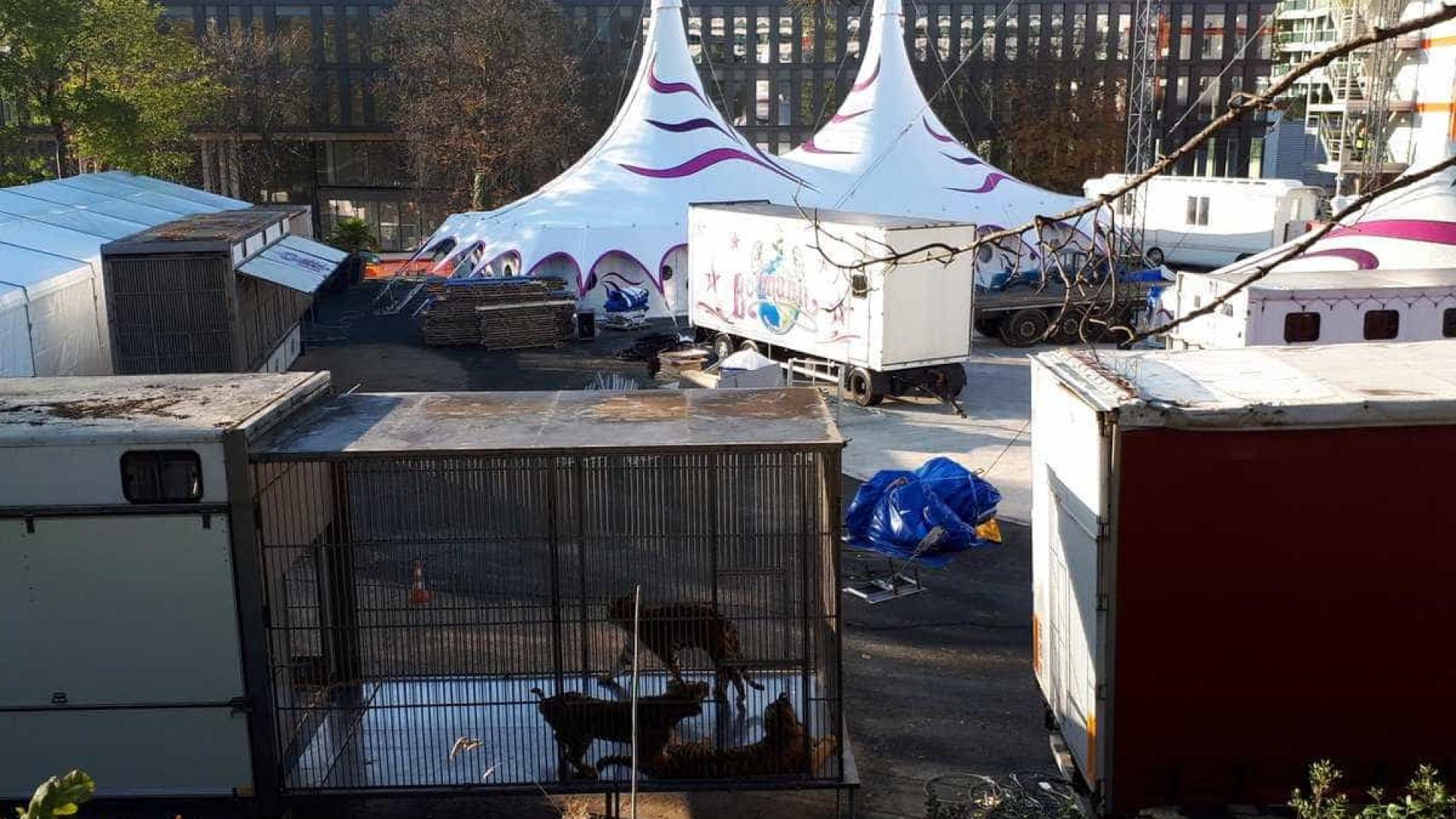 Tigre é morto após fugir de circo em Paris