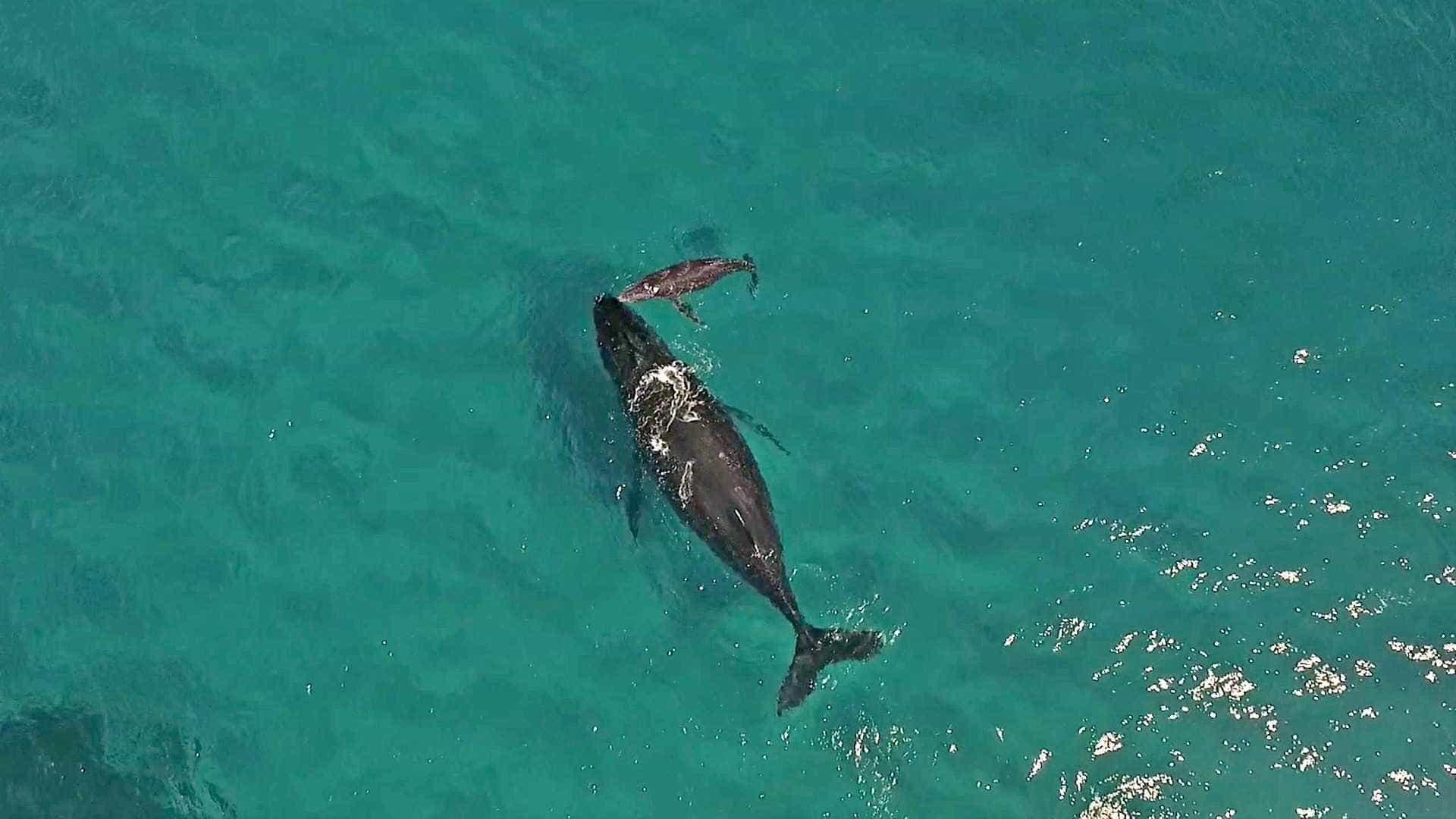 Baleia recém-nascida respira pela primeira vez