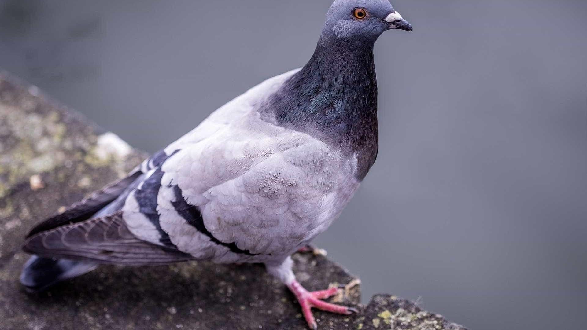 Alimentar pombo em ruas e praças de SP renderá multa de R$ 200