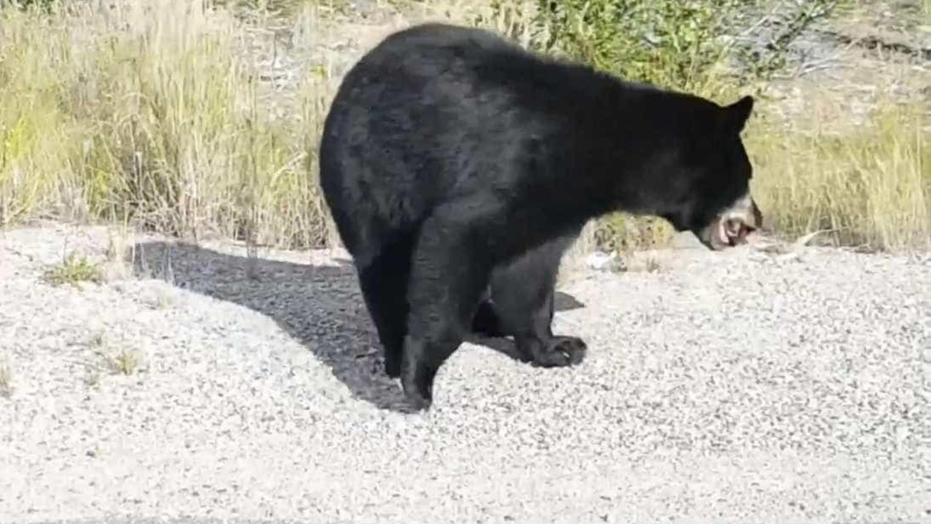 Jovens param carro para alimentar urso em estrada no Canadá
