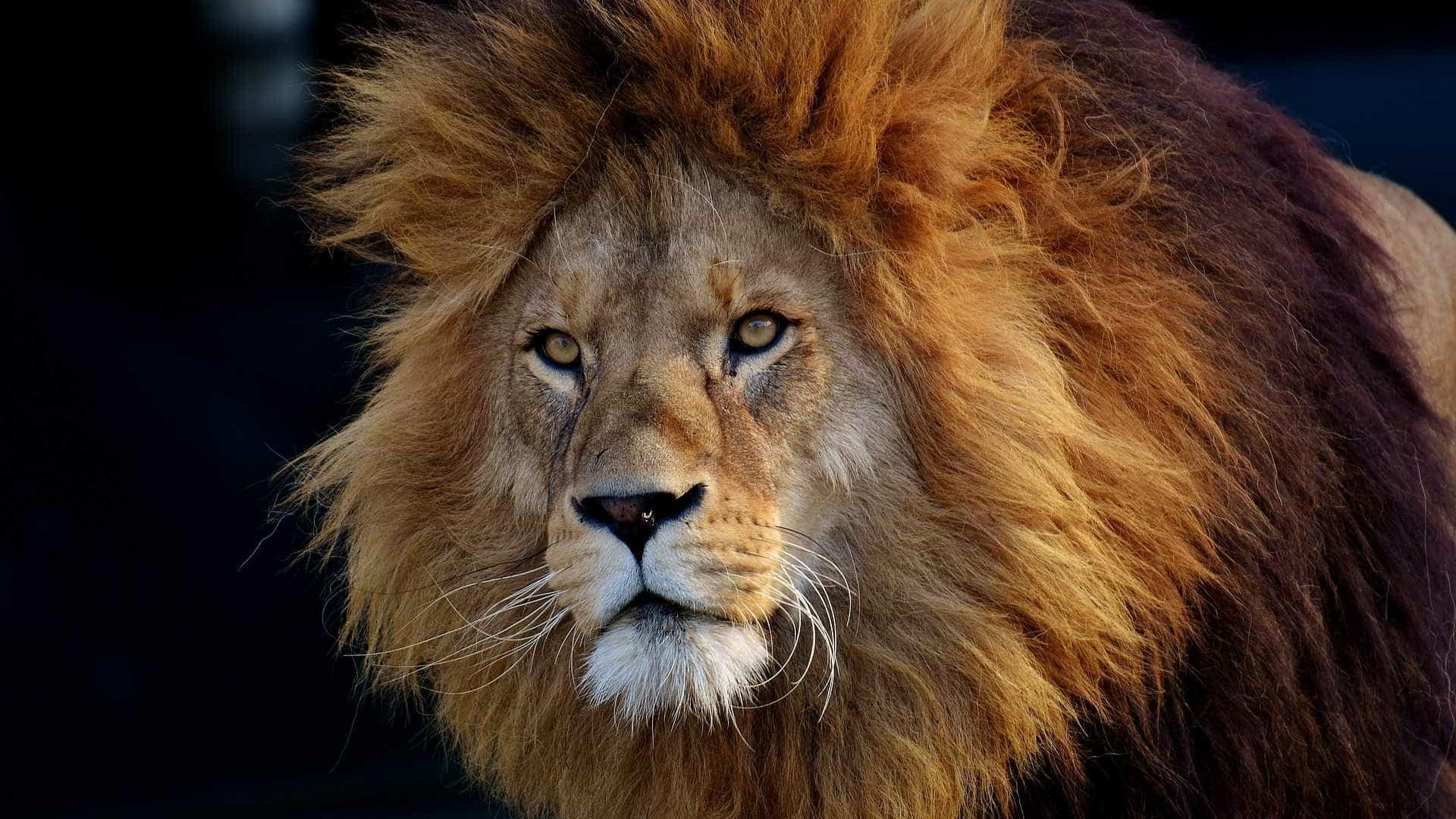 Fuga de leões, tigres e ursos de zoológico gera pânico na Alemanha