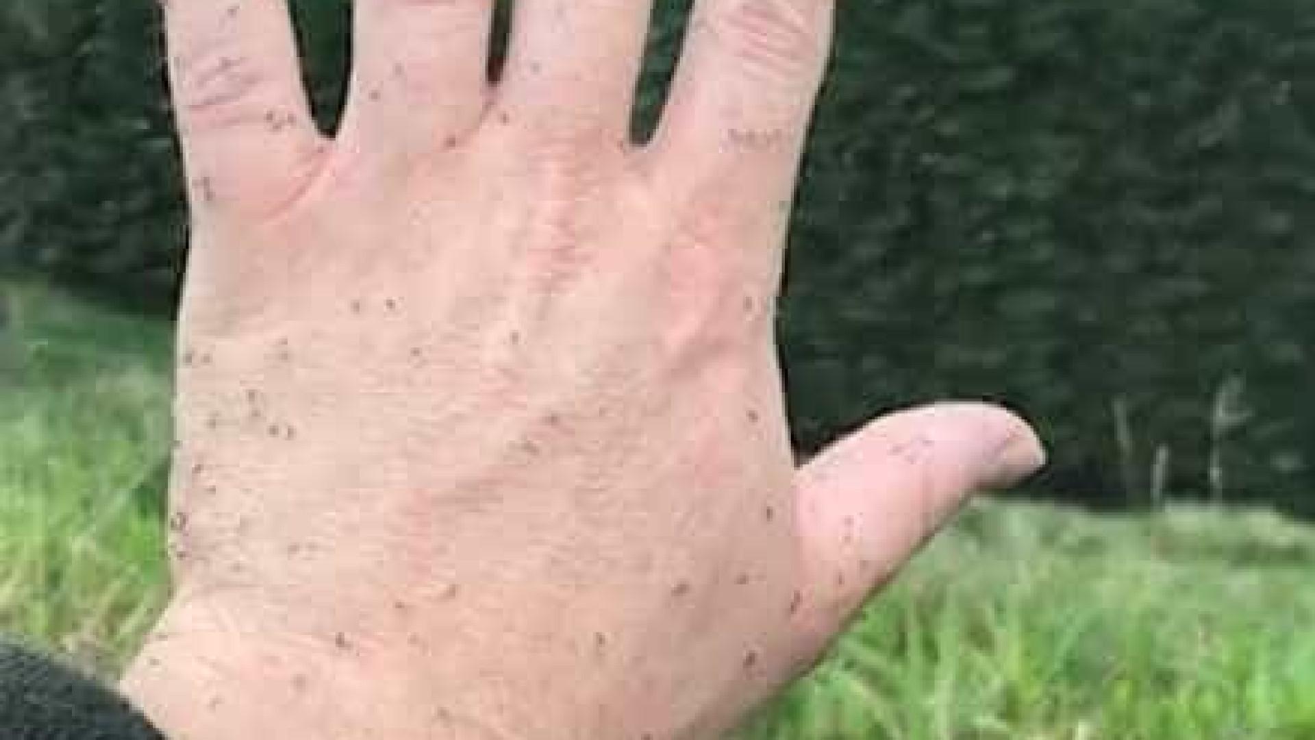 Mosquitos provocam caos na Escócia; vídeo