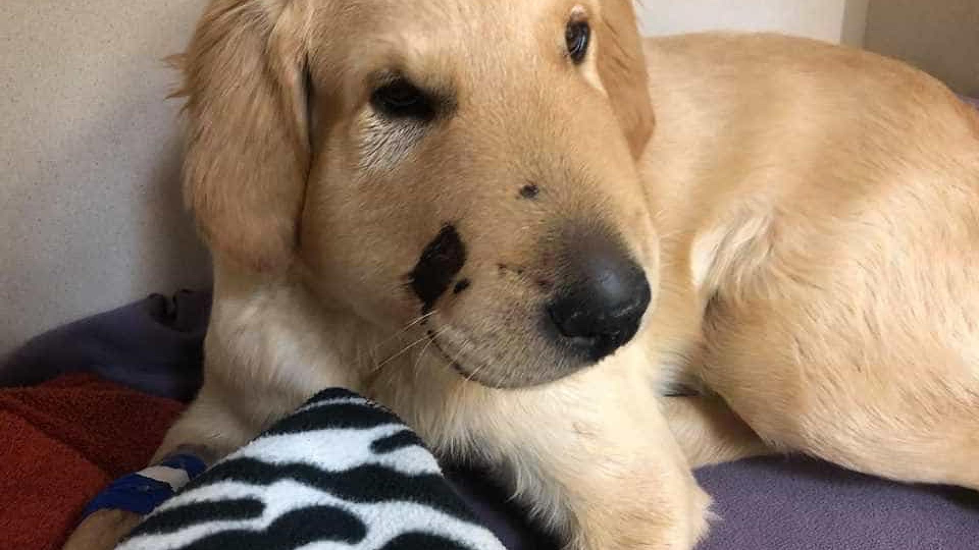 Cão herói fica ferido, mas salva tutora de ataque de cobra