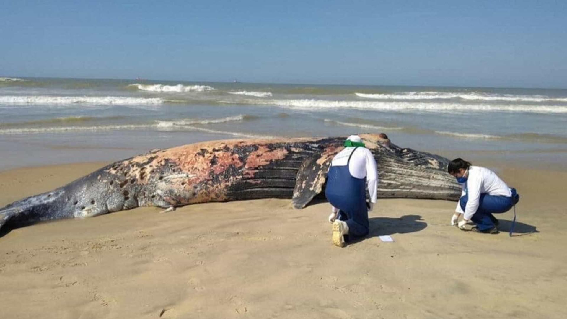 Baleia jubarte de 8 metros é encontrada morta em praia do Rio
