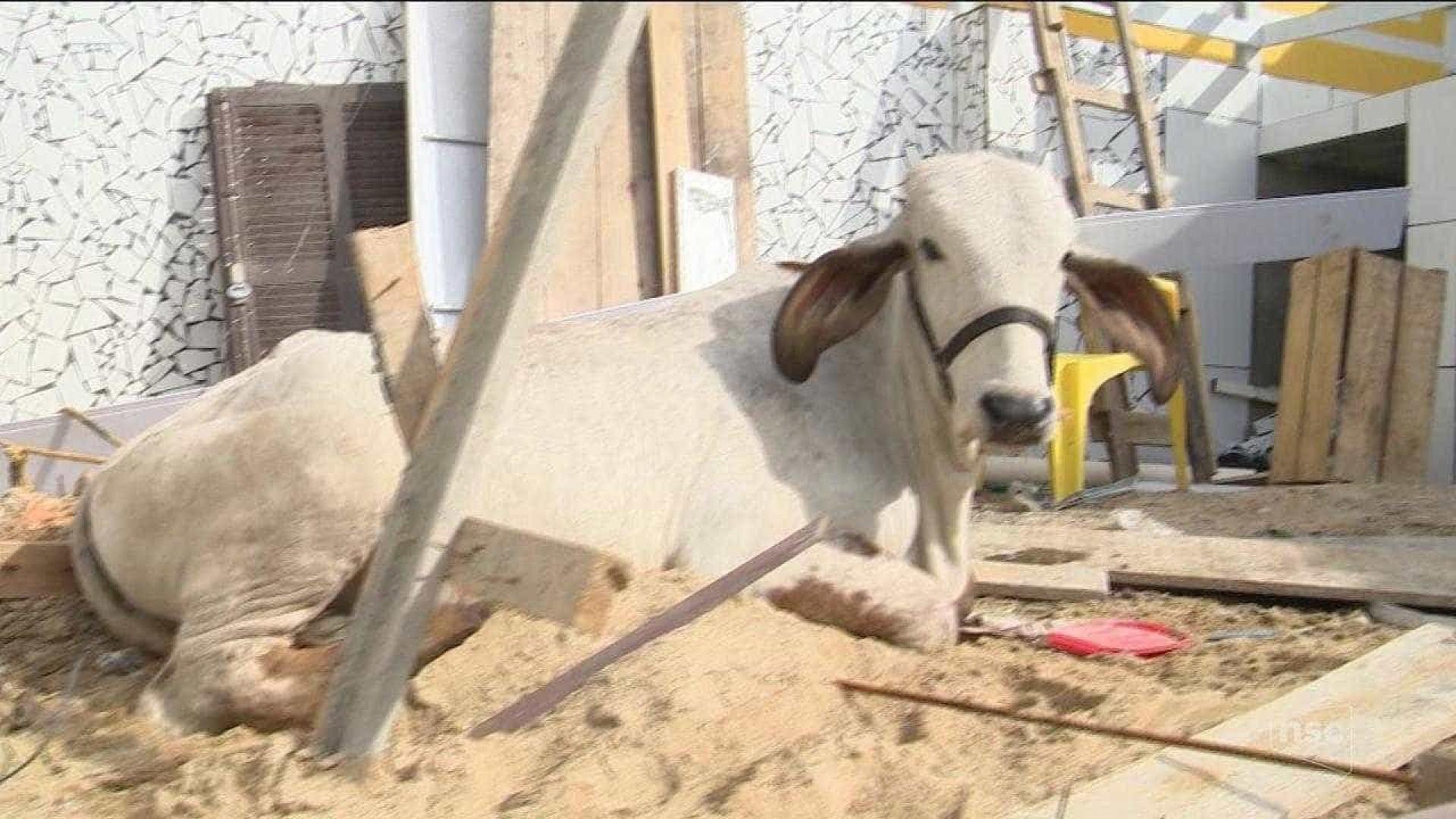 Vaca cai de telhado e destrói parte de casa em Santa Catarina