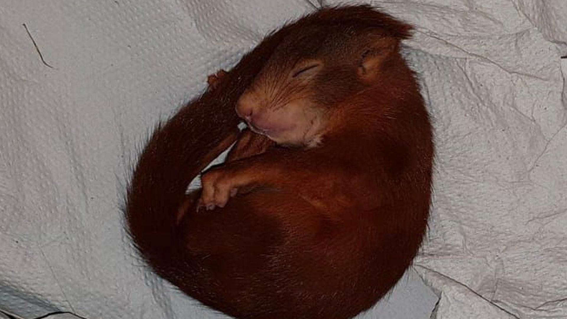 Polícia alemã 'salva' homem de esquilo bebê