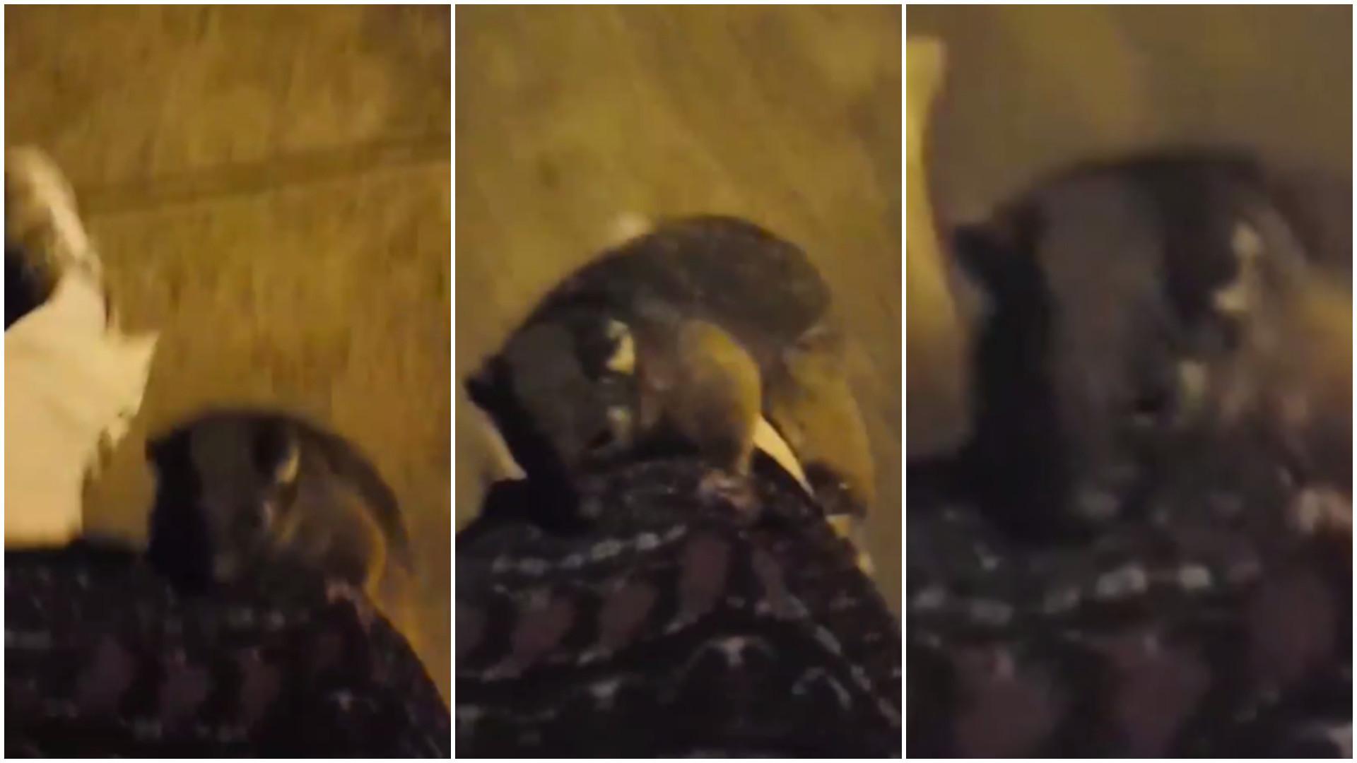 Gambá pega carona na perna de jovem na Austrália
