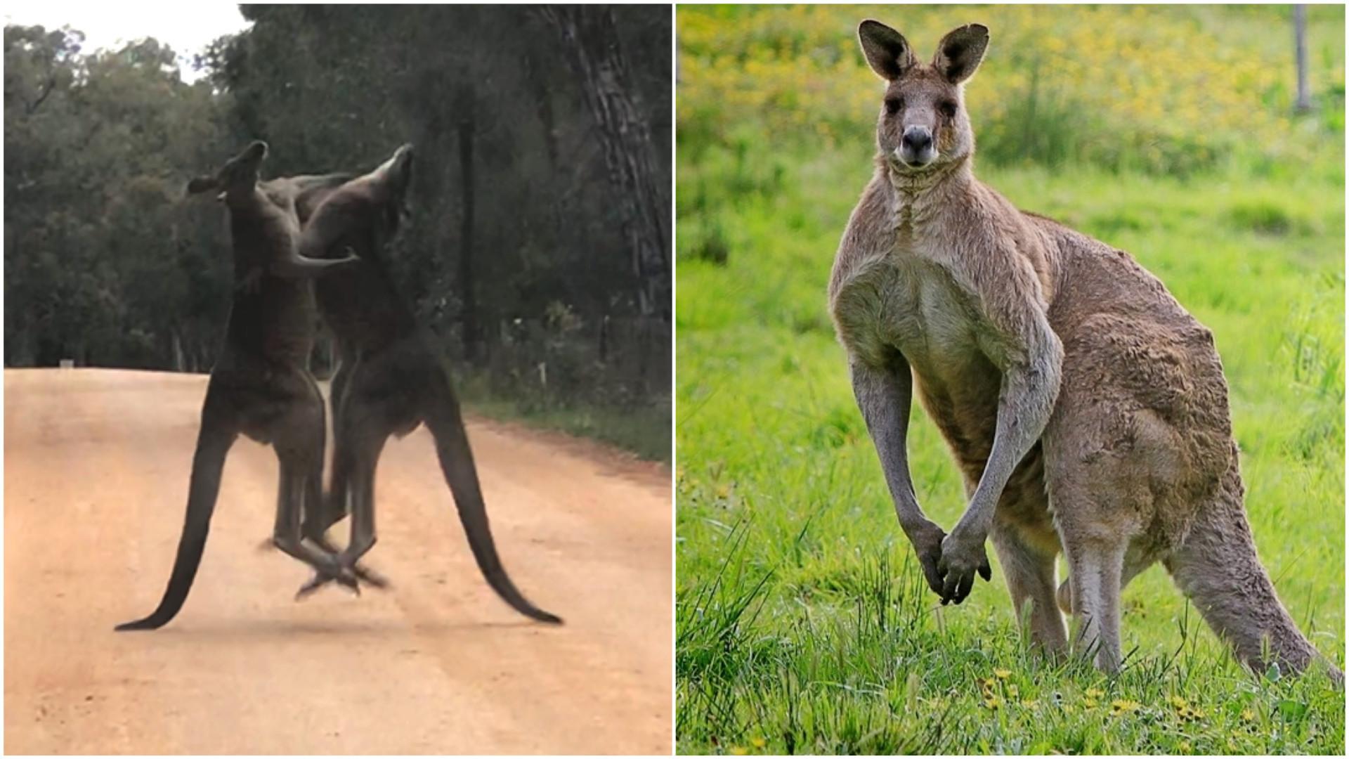 Cangurus são vistos 'lutando' no meio de estrada na Austrália