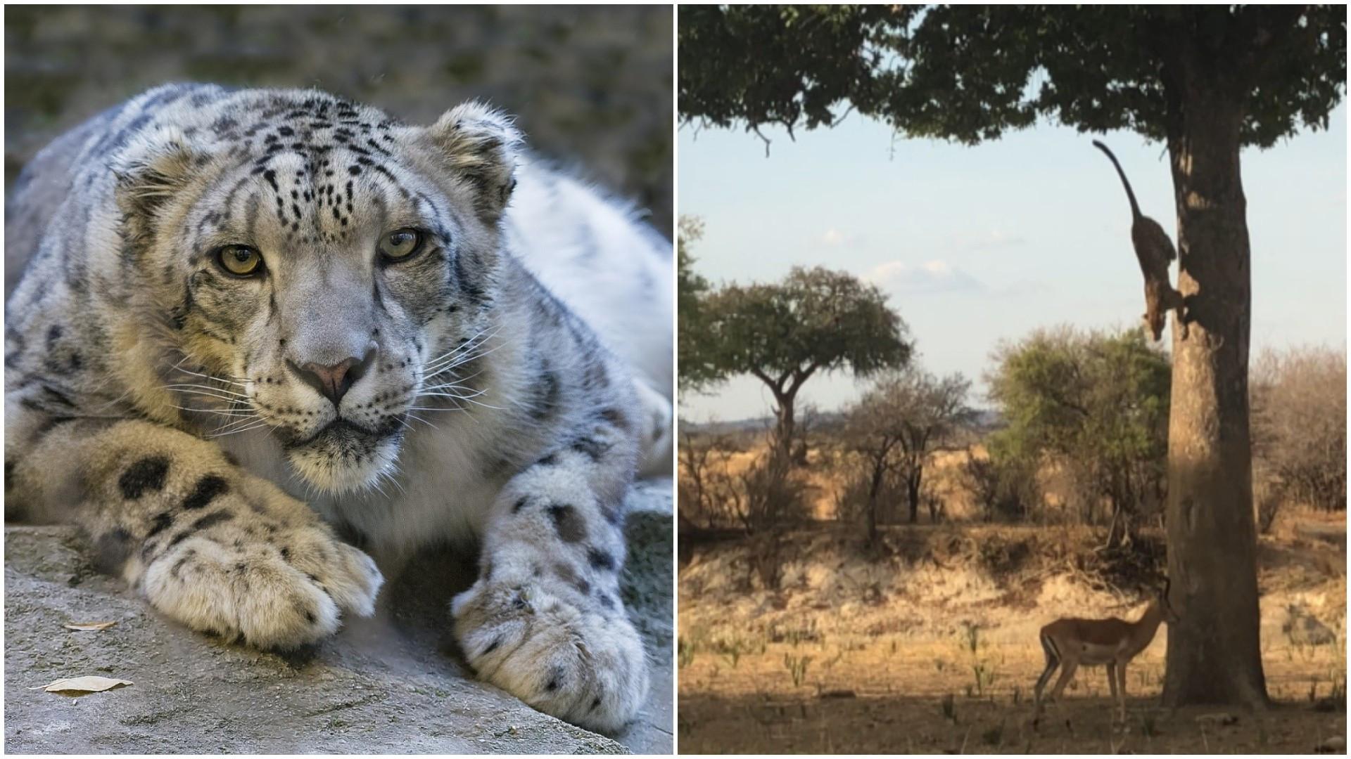 Leopardo salta de árvore para capturar presa; veja