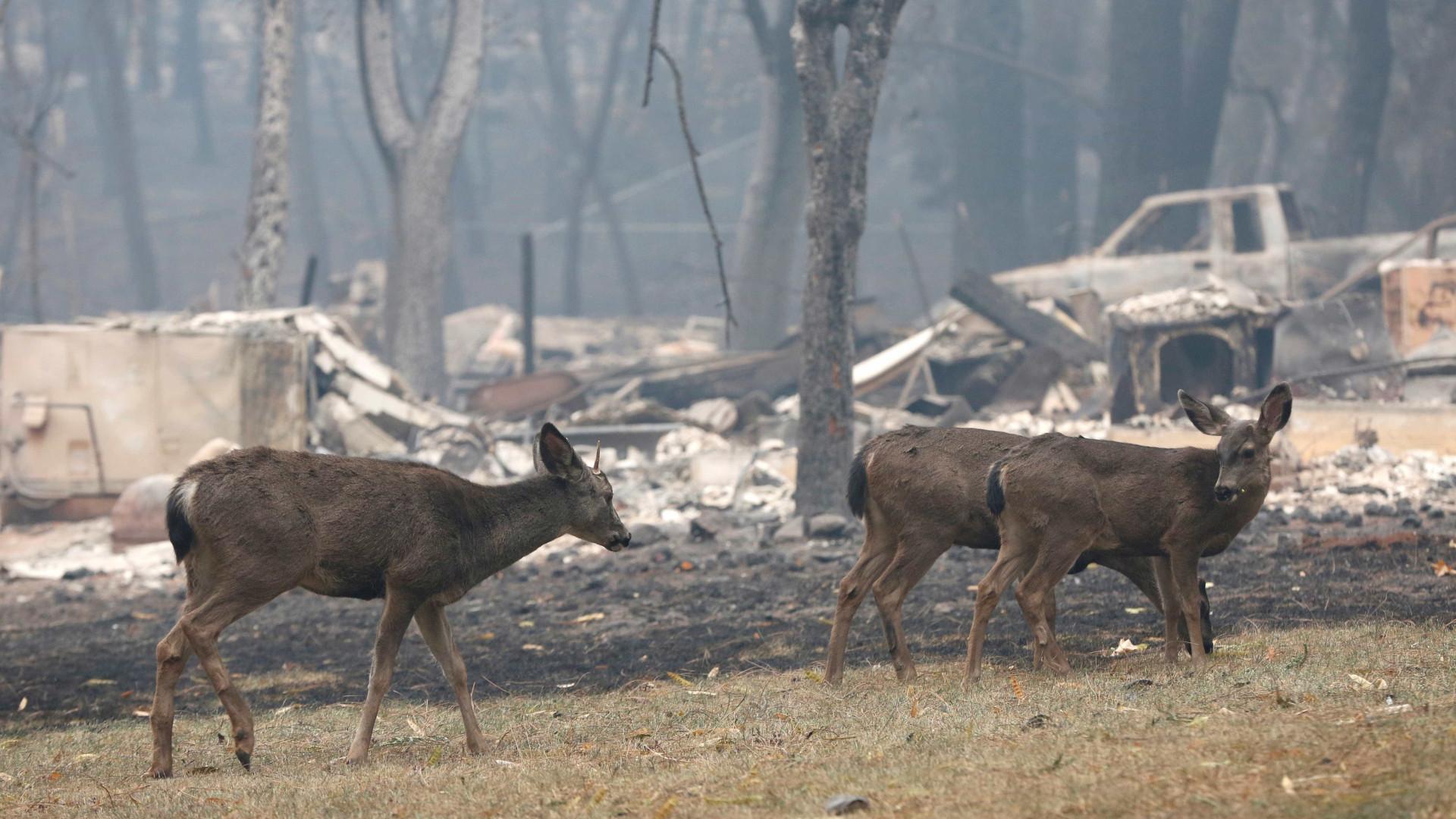 Feridos ou separados dos tutores, animais sofrem com incêndios nos EUA