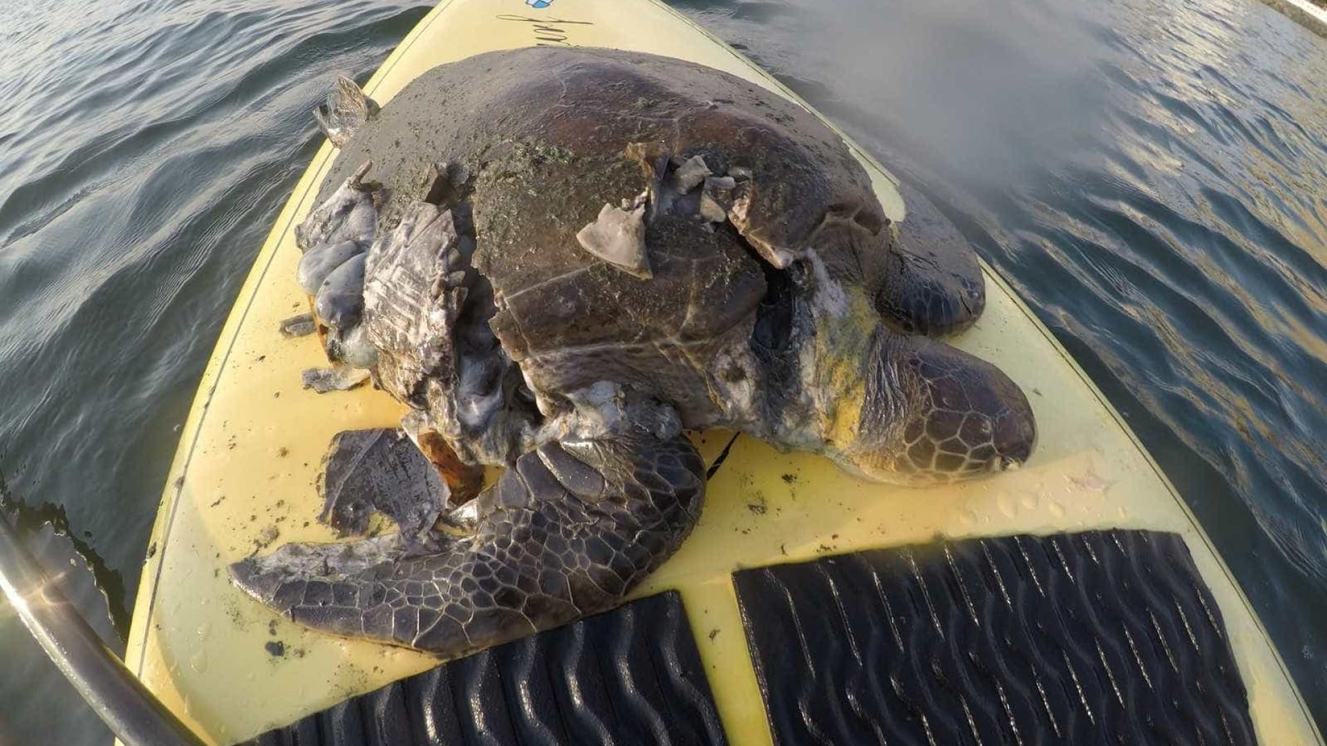Tartaruga tem casco destruído por jet ski e morre em praia de Santos