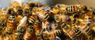 Idoso é atacado por abelhas e morre no Ceará