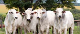Cresce exportação brasileira de 'genética bovina'