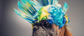Brincar carnaval com os cães é uma delícia, mas requer cuidados