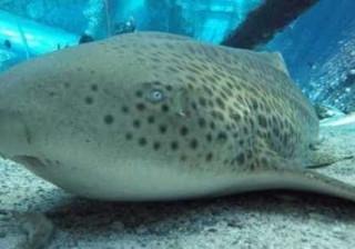 Caso raro de reprodução assexuada  é detectado em tubarão
