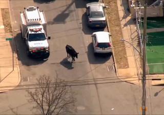 Touro é perseguido por policiais em Nova York
