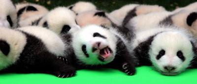 Centro de pandas apresenta 23 filhotes ao público na China; veja!