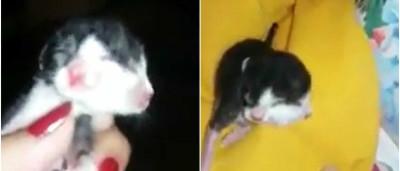 Gato com anomalia genética nasce com duas cabeças
