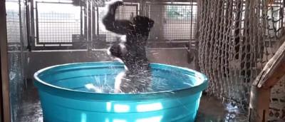 Hilário: gorila se empolga e faz breakdance durante banho