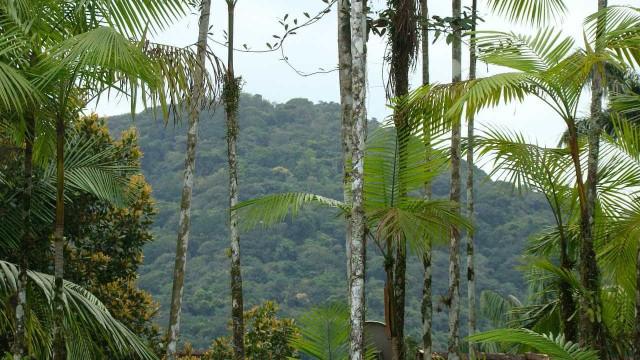 Método agroflorestal preserva com exploração do açaí da Mata Atlântica