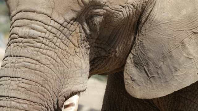 Elefante que morreu no zoológico de Brasília pode ter sido envenenado