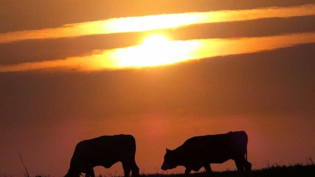 Abate de bovinos e de suínos cresce em relação a 2017