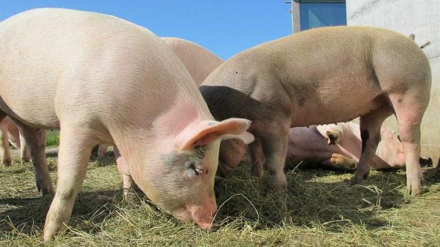 Operação Carne Fraca derruba abate de bovinos; consumo de porco cresce