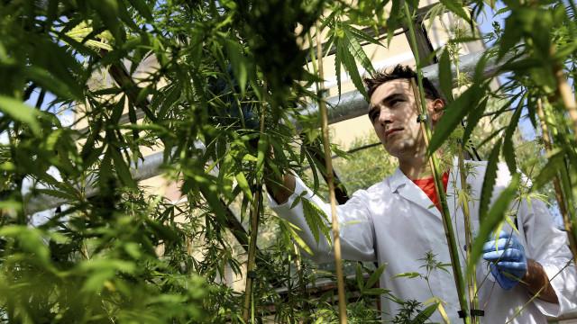 Comissão aprova cultivo da cannabis para uso terapêutico