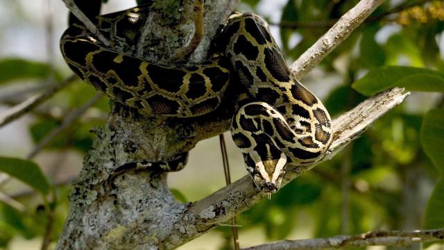 Cobra gigante mata e engole mulher na Indonésia