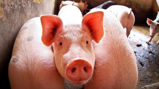 Força-tarefa encontra três novos focos de peste suína no Ceará