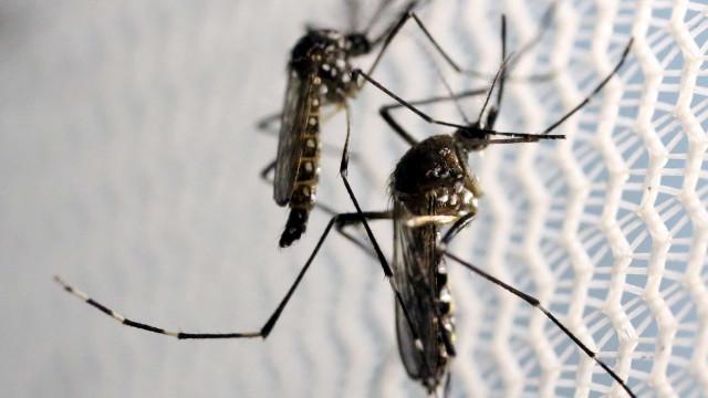 Justiça autoriza empresa a comercializar Aedes aegypti modificado