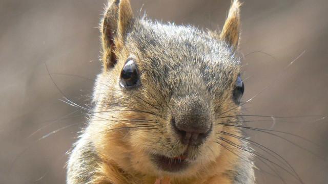 Esquilo invade casa para comer biscoitos e ataca policial nos EUA