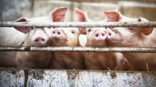 Rússia retoma compra de carne suína e bovina ao Brasil