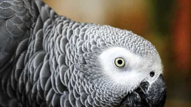 Papagaio testemunha assassinato e conta tudo: 'Não atire'