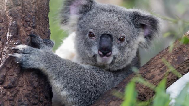 Austrália investiga morte macabra de coala que apareceu preso a poste