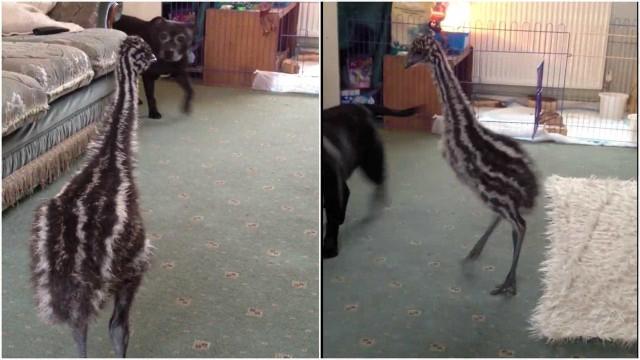 Filhote de ema mostra alegria impressionante ao ver cachorro